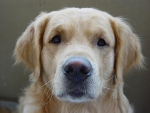 retriever fata
